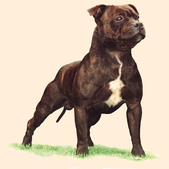 Dog Rescue Staffordshire Bull Terrier
